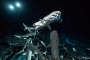700 REQUINS DANS LA NUIT 22062016  DSC1848 ©Laurent Ballesta 300x200 700 requins dans la nuit   Le nouveau documentaire de Laurent Ballesta